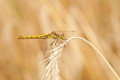 Mosca común del dragón del Darter Foto de archivo