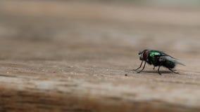 A mosca comum da casa decola video estoque
