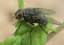mosca comune Immagine Stock Libera da Diritti