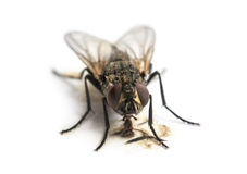 Mosca comune comune sporca che mangia, musca domestica, isolato Immagini Stock Libere da Diritti