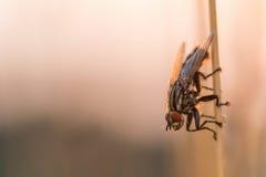 Mosca comune (insetti) su una lama di erba ad alba Fotografie Stock