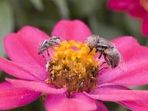 Mosca d'inseguimento del ragno fotografia stock