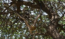 Mosca da águia dourada de uma árvore em África foto de stock royalty free