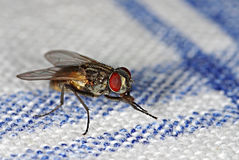 Mosca da casa no tablecloth Imagem de Stock