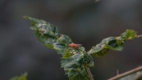 Mosca da drosófila em uma folha video estoque