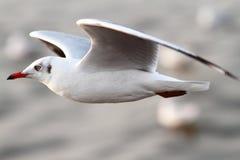 Mosca da gaivota Foto de Stock