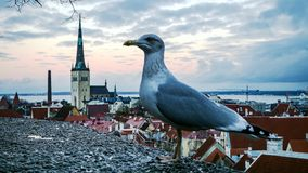 Mosca da gaivota na frente do panorama de Tallinn foto de stock royalty free