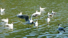 Mosca da gaivota da pústula vídeos de arquivo