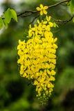 Mosca da vespa em torno do chuveiro dourado Imagem de Stock
