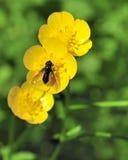 Mosca de abeja Foto de archivo
