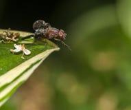 Mosca de abeja Imagenes de archivo