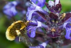 Mosca de abeja Fotos de archivo libres de regalías