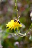Mosca de abeja al dandellion Foto de archivo