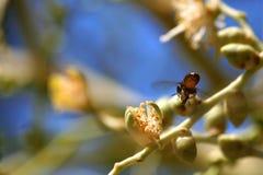 Mosca de abeja alrededor de la palmera del betel en jardín Imágenes de archivo libres de regalías