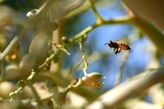 Mosca de abeja alrededor de la palmera del betel en jardín Foto de archivo libre de regalías