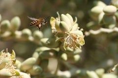 Mosca de abeja alrededor de la palmera del betel en jardín Imagen de archivo libre de regalías
