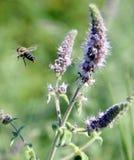 Mosca de abeja después de recoger el néctar Fotos de archivo