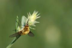 Mosca de abeja en hierba Imagen de archivo