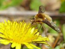Mosca de abeja en un diente de león Imagenes de archivo