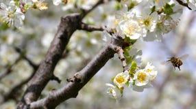 Mosca de abeja a florecer Foto de archivo libre de regalías