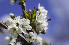 Mosca de abeja a florecer rama Imagenes de archivo