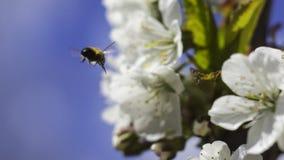 Mosca de abeja a florecer rama Fotografía de archivo libre de regalías