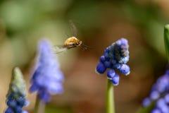 Mosca de abeja grande Fotos de archivo