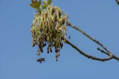 Mosca de abeja hacia la ramita fresca de la primavera con la floración Foto de archivo libre de regalías