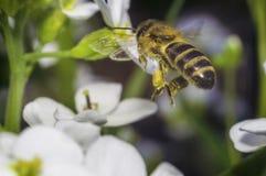 mosca de abeja a la flor blanca Imagen de archivo libre de regalías