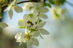 mosca de abeja a la flor blanca Foto de archivo libre de regalías