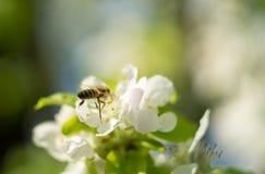 mosca de abeja a la flor blanca Fotos de archivo libres de regalías