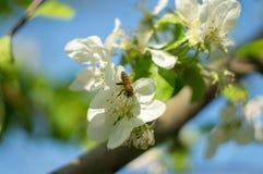 mosca de abeja a la flor blanca Fotografía de archivo libre de regalías
