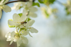 mosca de abeja a la flor blanca Imágenes de archivo libres de regalías
