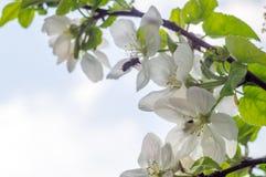 mosca de abeja a la flor blanca Foto de archivo