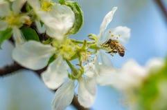 mosca de abeja a la flor blanca Fotos de archivo