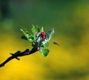 Mosca de abeja a la flor de la manzana Imágenes de archivo libres de regalías