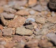 Mosca de abeja lanosa Imagenes de archivo