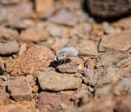 Mosca de abeja lanosa Foto de archivo libre de regalías