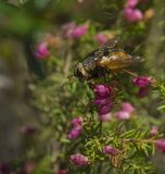 Mosca de abeja macra con la cerda que alimenta en briar rosado Imágenes de archivo libres de regalías