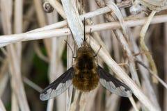 mosca de abeja Oscuro-confinada (comandante de Bombylius) desde arriba Fotografía de archivo libre de regalías
