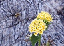 Mosca de abeja que se acerca a un racimo de flor amarillo de una planta del Lantana Imagen de archivo libre de regalías