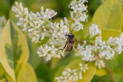 Mosca de abeja que se sienta en las pequeñas flores blancas cerca para arriba Fotos de archivo