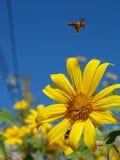 Mosca de abeja sobre la flor Foto de archivo libre de regalías