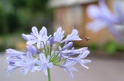 Mosca de abelha fotografia de stock