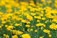 Mosca de abelha pequena no campo da margarida amarela bonita Fotos de Stock Royalty Free