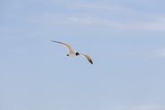 Mosca de cabeça negra da gaivota no céu Foto de Stock