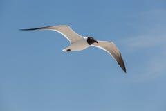 Mosca de cabeça negra da gaivota no céu Fotografia de Stock