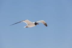 Mosca de cabeça negra da gaivota no céu Imagens de Stock