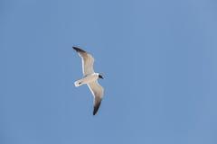 Mosca de cabeça negra da gaivota no céu Fotos de Stock