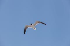 Mosca de cabeça negra da gaivota no céu Imagem de Stock Royalty Free